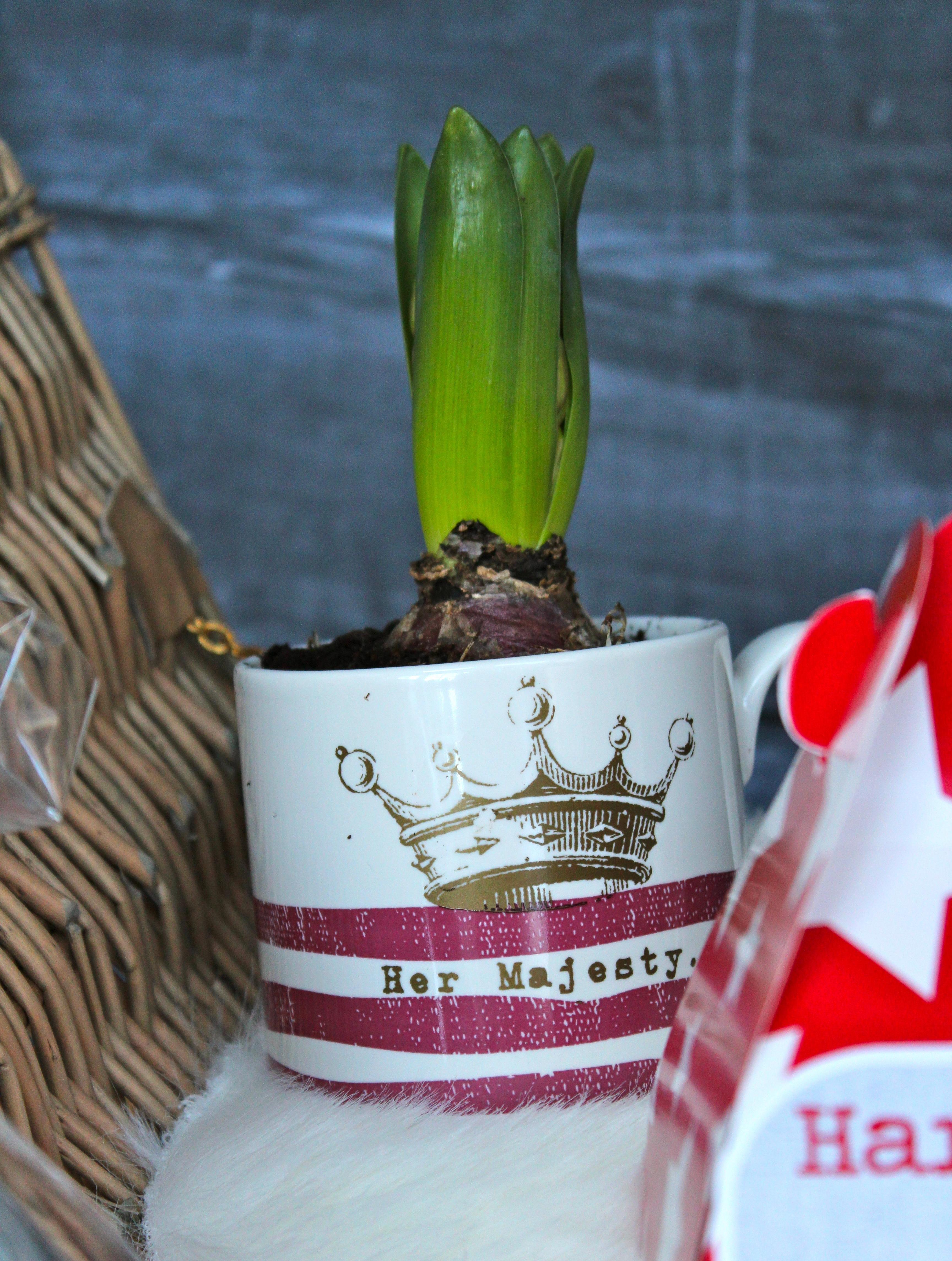 hyacinths in mugs