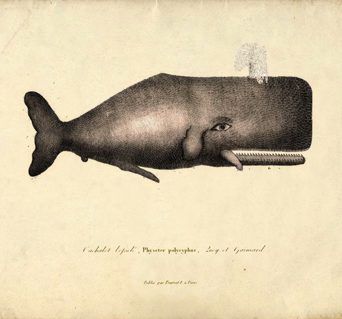 vintage whale drawing