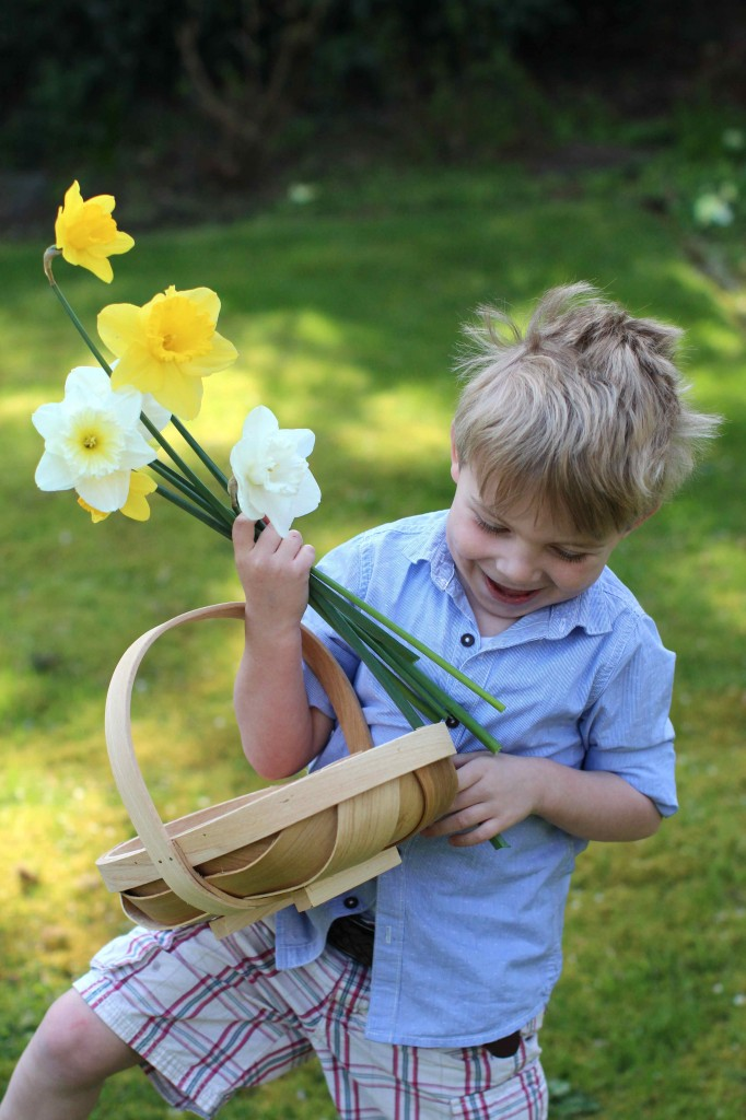 Picking garden daffodils