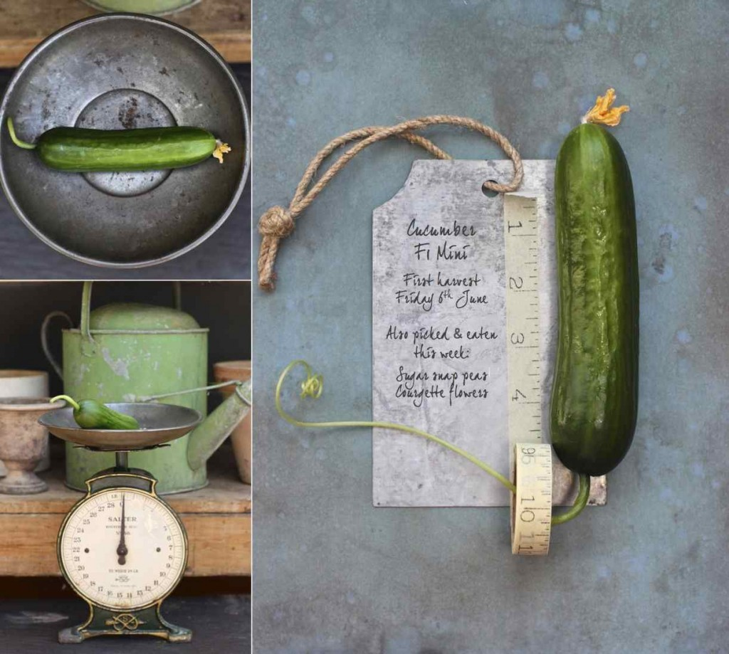 Cucumber F1 Botanical Journal