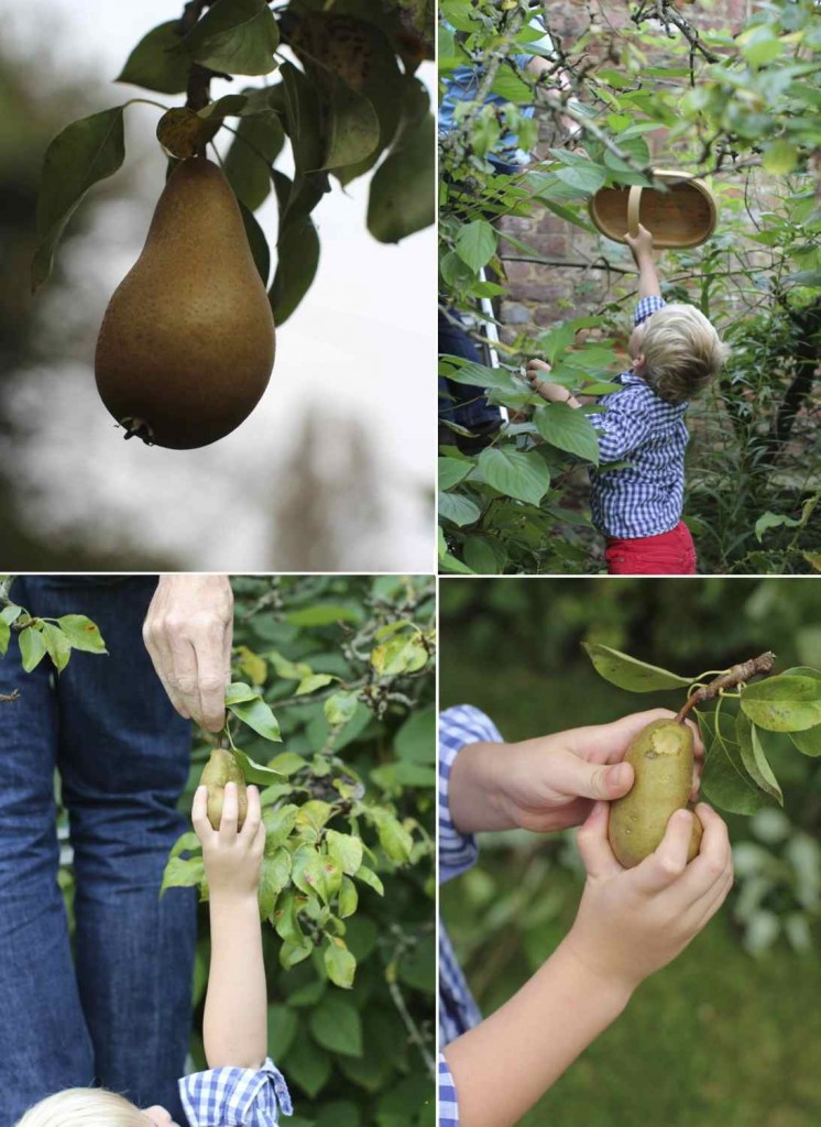 Gathering Pears for Autumn