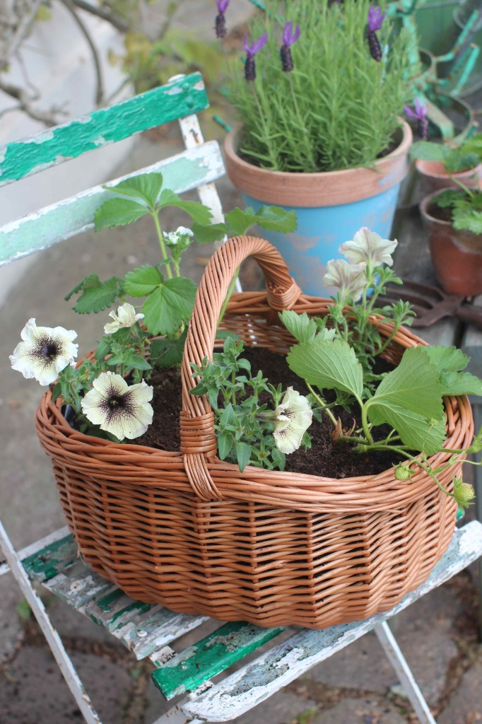 Hanging baskets with strawberries and cappucino daisies