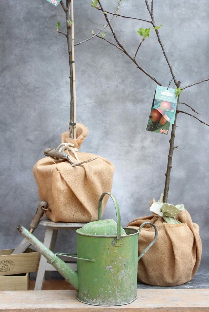 Apple trees tied with burlap